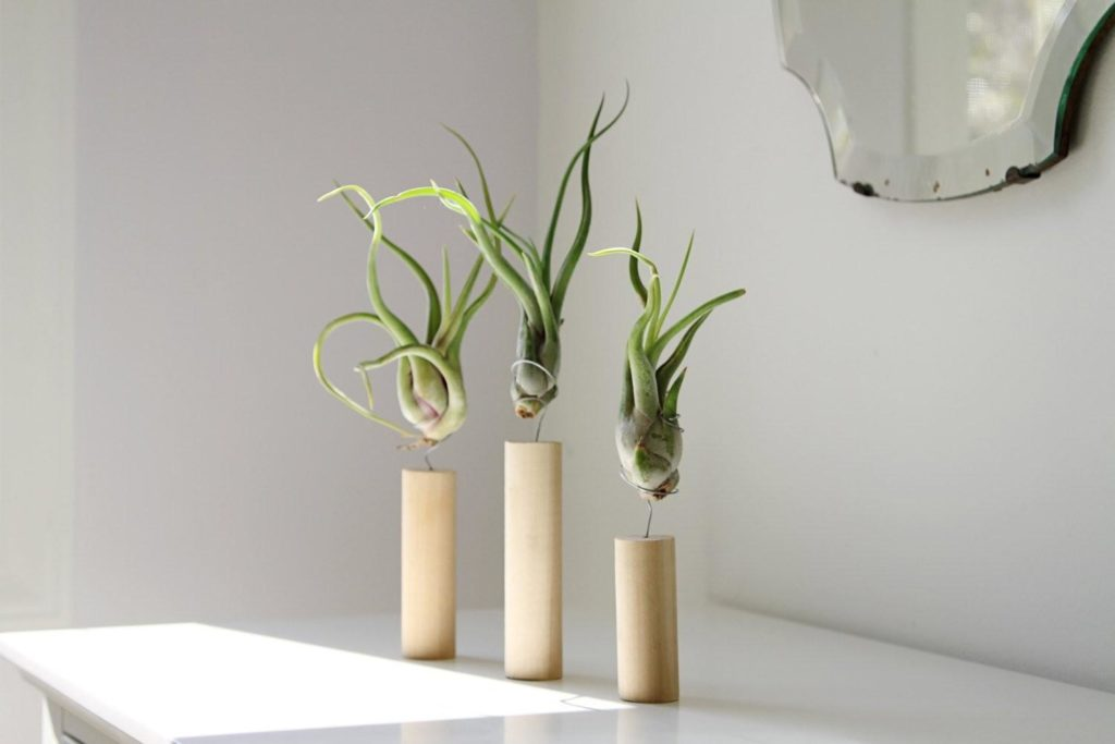 Wolf Global_Instagrammable House Plants_Air Plants