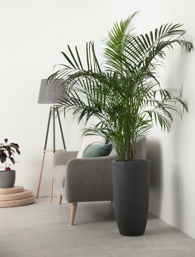 Wolf Global_Instagrammable House Plants_Parlor Palm