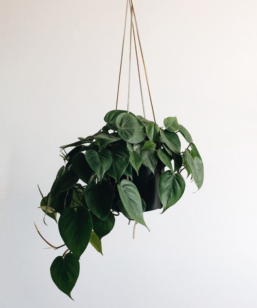 Wolf Global_Instagrammable House Plants_Pothos