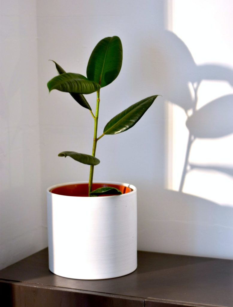 Wolf Global_Instagrammable House Plants_Rubber Plam